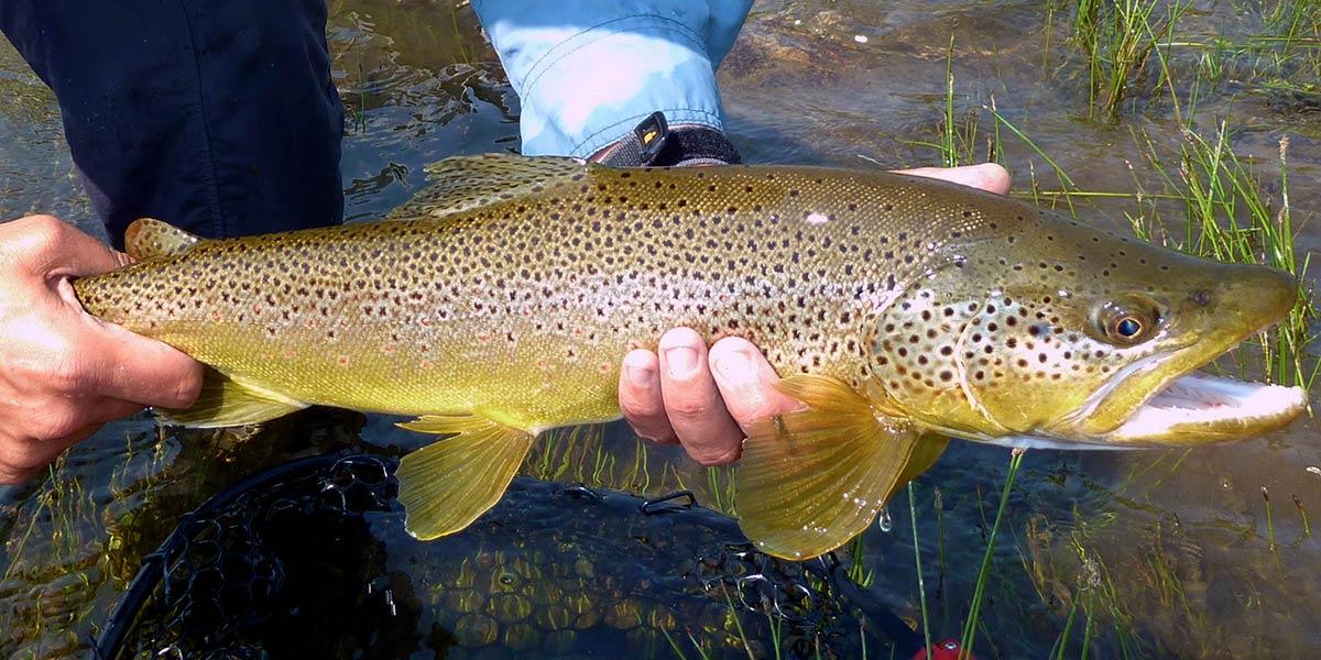 Yellowstone river drift boat trip brown trout