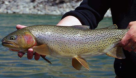 large spring yellowstone river trout