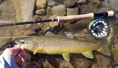 late autumn egg-eating brown trout
