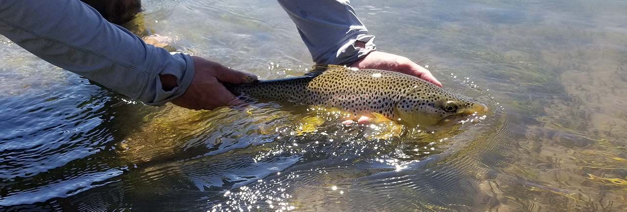 Yellowstone River brown trout