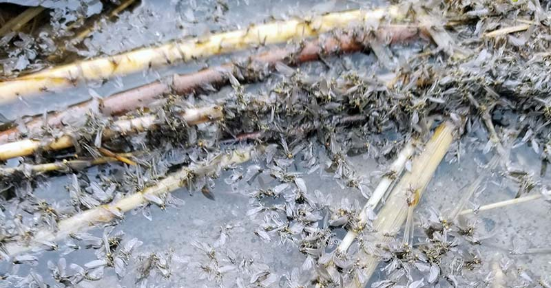 large number of caddisflies