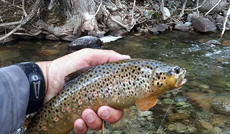 late summer small stream brown trout