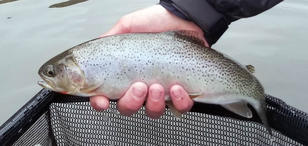 madison river westslope cutthroat