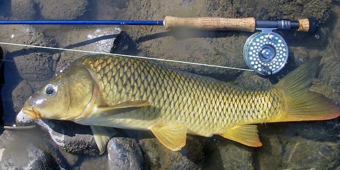 missouri river carp