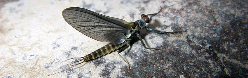 western green drake mayfly