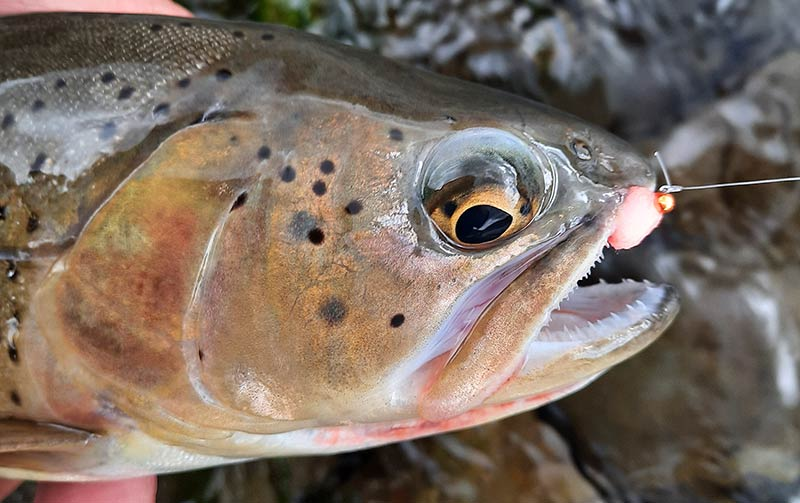 Rainbow-cutthroat hybrid trout caught on October Yellowstone fishing trip